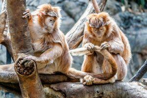 samenwerking van apen de een vlooit de staart van de ander gezeten op een tak