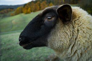 Luisterend schaap