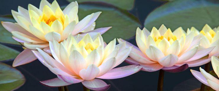 HEEL opleidingen lotusbloemen