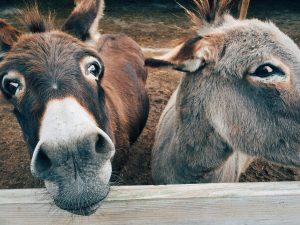 gedragsverandering 2 ezels kijkend over een hek