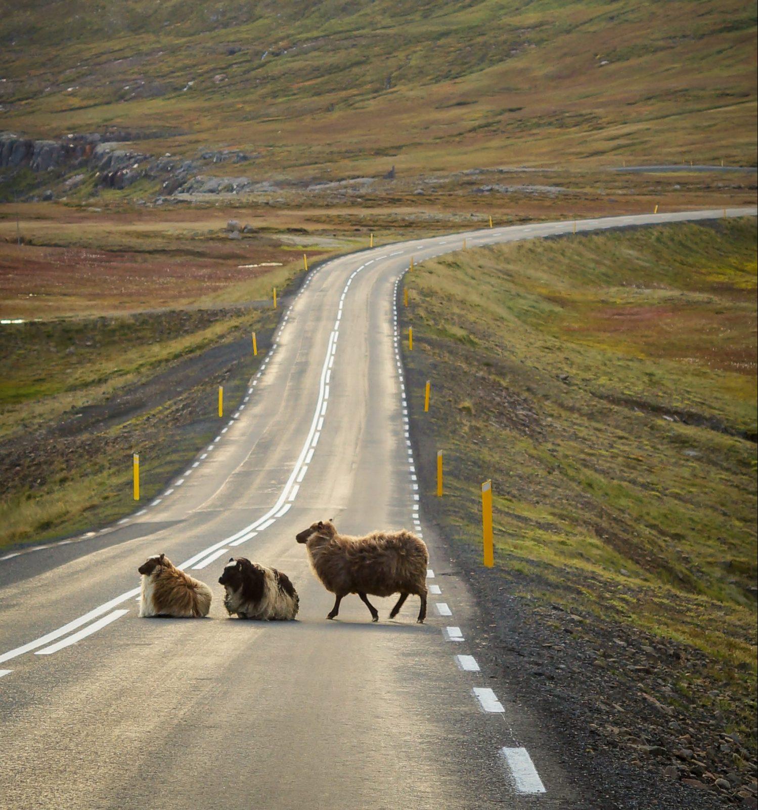 keuzestress-schapen-op-verlaten-weg