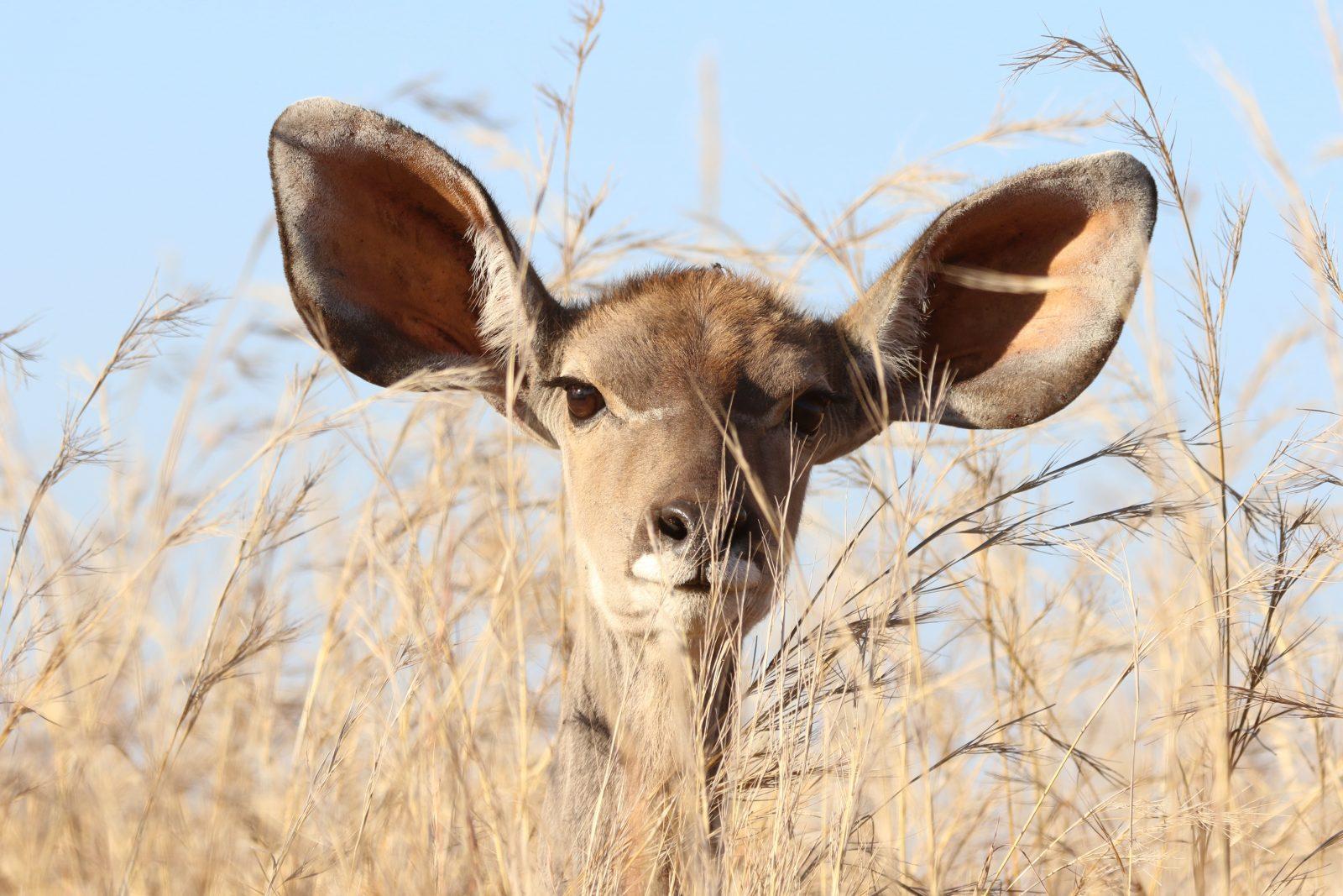 luisterend hert met 2 grote oren